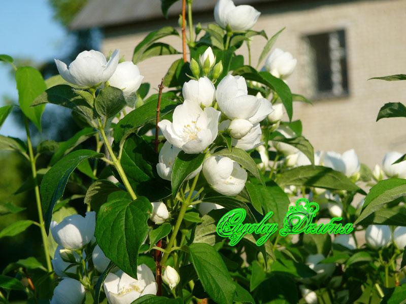 Чубушник жасмин красиво цветет с