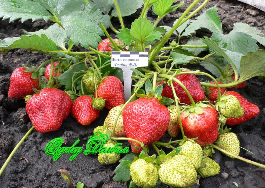 Выращивание из семян земляника елизавета 68