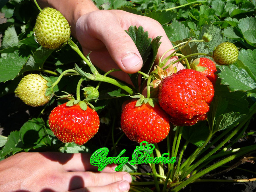 Выращивание из семян земляника елизавета 82