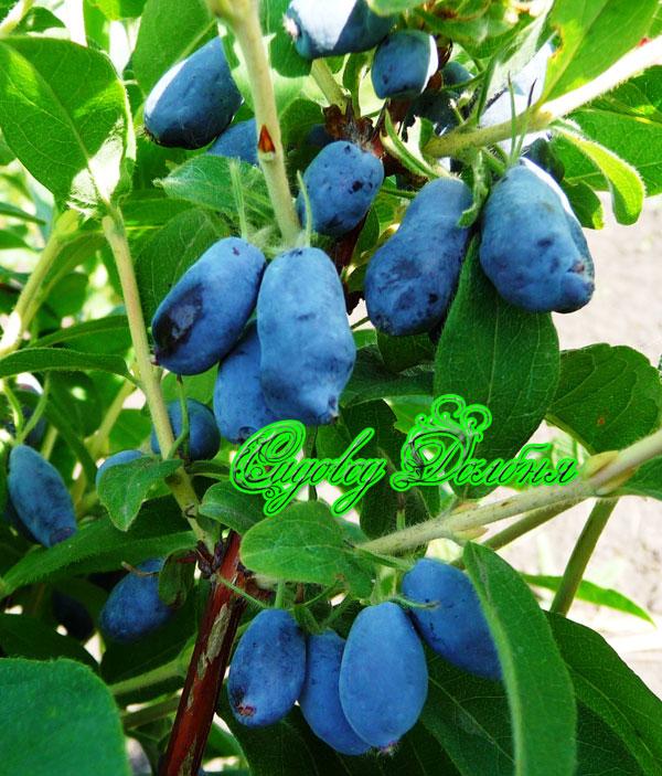 Многие садоводы при озеленении беседок выращивают, например, красиво-цветущую лиану - жимолость каприфоль.