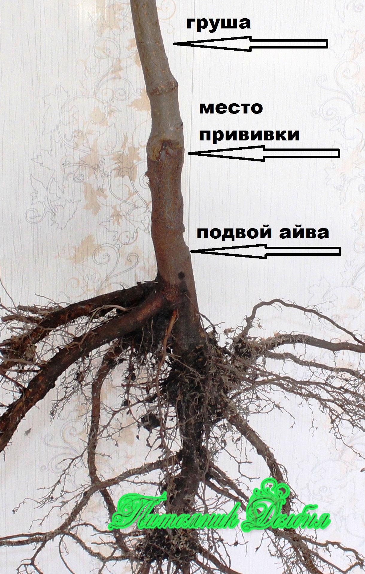 ВЫРАЩИВАНИЕ ВИШНИ.Как выращивать вишню? ВИДЕО 82