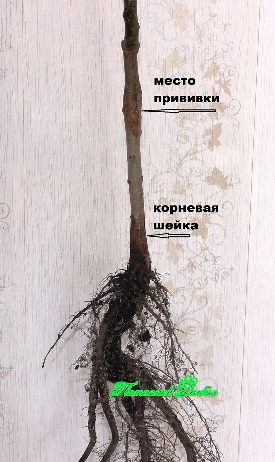 Как сажать привитое дерево 91