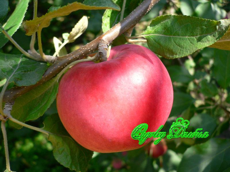 Яблоня серебряное копытце описание
