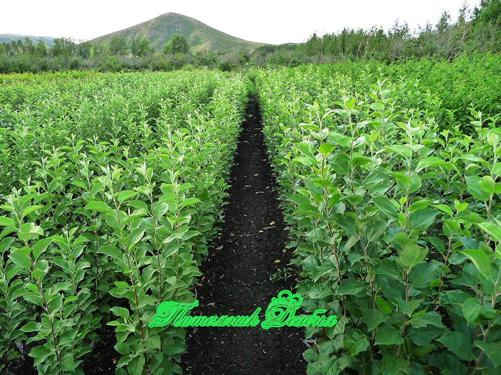 Питомник и для выращивания саженцев 245