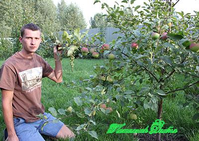 Яблоня сладкая нега описание фото отзывы